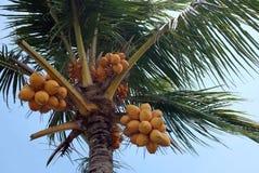 Coconut tree. Yellow coconut tree, cocos nucifera Stock Image