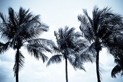 Coconut trees. Three coconut trees under the night light stock photo