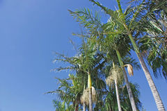 Coconut trees. Against a clear blue sky in Australia stock images