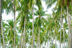 Coconut trees Royalty Free Stock Photo