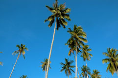 Coconut trees. And blue sky royalty free stock photography