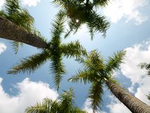 Coconut trees Stock Images