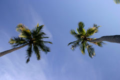 Coconut trees. Bottom-up view of two coconut trees with a blue sky background Stock Photo
