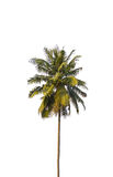 Coconut trees. Isolated on a white background stock images