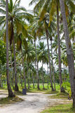 Coconut trees. Old Coconut trees located together stock images