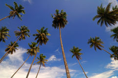Coconut trees. With blue sky in the background Royalty Free Stock Photography