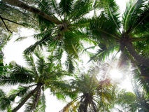 Coconut trees. Treetops of coconut trees in a sunny day Stock Photo