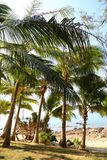 Coconut trees. Means green and nature Royalty Free Stock Image
