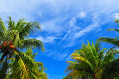 Coconut Trees. By the beach Royalty Free Stock Photography