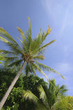 Coconut Trees. On a clear sunny day at Langkawi Island, Malaysia stock photography