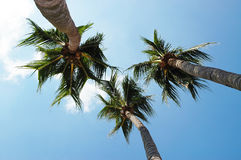 Coconut Trees. From bottom up royalty free stock images