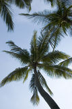Coconut Trees. View from below Stock Image