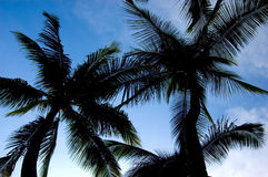 Coconut Trees. View from below Stock Photos