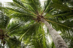 Coconut trees Stock Image
