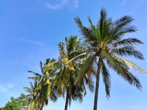 Coconut trees against beautiful clear blue sky. Royalty Free Stock Photography