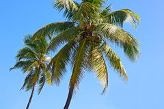 Coconut trees against blue sky of Miami Beach. Royalty Free Stock Image