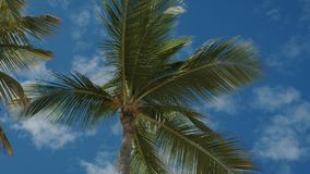 Palm trees against the blue sky with white clouds. Coconut trees against the blue sky with white clouds. Dominican Republic stock video footage