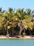 Coconut Trees on the beach Stock Image