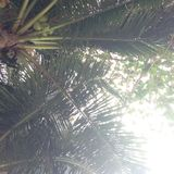 Coconut trees beach Asia Thailand Stock Photography