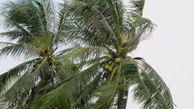 Coconut trees stock video