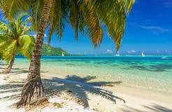 Coconut trees in a beach in Moorea Stock Photos