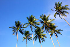 Coconut trees on blue skies Stock Photography