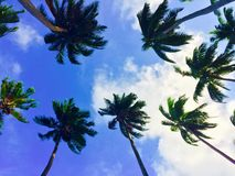 Coconut trees. Blue skies tall trees and peacefulness Stock Image