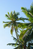 Coconut trees. In the blue  sky Royalty Free Stock Images
