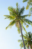 Coconut trees. In the blue  sky stock photography