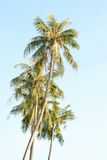 Coconut trees. In the blue  sky Royalty Free Stock Image