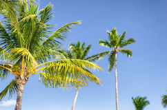 Coconut trees on a blue sky Royalty Free Stock Images