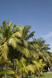 Coconut trees with blue sky background. Palm tree in green grass Stock Photo