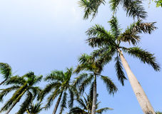 Coconut Trees with Blue Sky Background Stock Photos