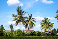 Coconut trees. And blue sky are beautiful Royalty Free Stock Image