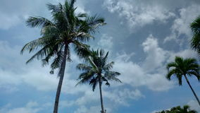 Coconut trees on blue sky. Some coconut trees standing proudly with the backdrop of blie sky and white clouds Stock Images