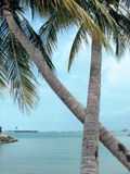 Coconut trees crossed. Two coconut trees that have grown into an X. Leaning over into the sea and the sun is shining on them. Horizontal view Royalty Free Stock Photography