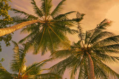 Coconut trees in the evening sunset Royalty Free Stock Image
