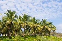 Coconut trees in the  garden Stock Photo