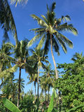 Coconut trees at garden in Lombok, Indonesia Royalty Free Stock Photography