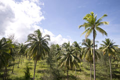 Coconut trees in garden Royalty Free Stock Photography