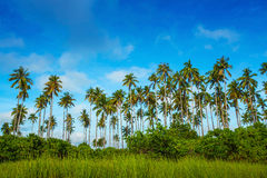 Coconut trees. That grow lush on an island Royalty Free Stock Images
