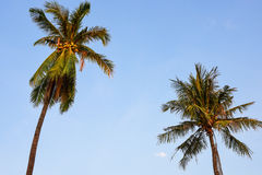 Coconut trees. An image of two nice palm trees in the blue sunny sky Stock Photos