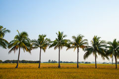 Coconut Trees In The Rice Field. Stock Photos
