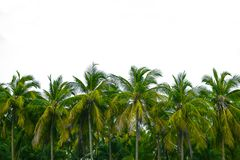 Coconut trees on isolated stock photo