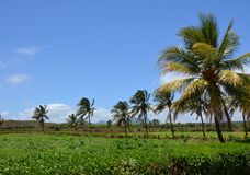 Coconut trees landscape. Of Mauritius Royalty Free Stock Images