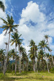 Coconut trees Stock Photos