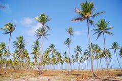 Coconut trees. In Maracaipe Beach Royalty Free Stock Photo