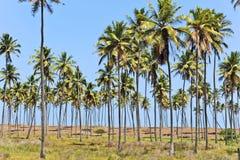 Coconut trees. In Maracaipe Beach royalty free stock image