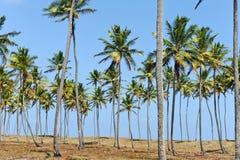 Coconut trees. In Maracaipe Beach Stock Image
