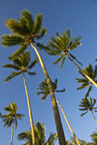 Coconut trees on moorea in south seas Royalty Free Stock Photo